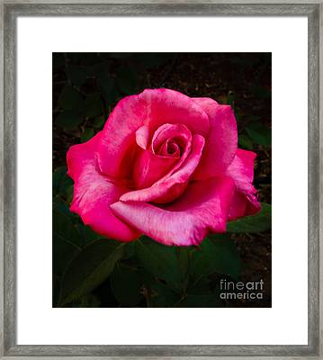 Perfect Rose Framed Print