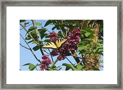 Framed Print featuring the photograph Yellow Swallowtail And Lilac by Deb Martin-Webster