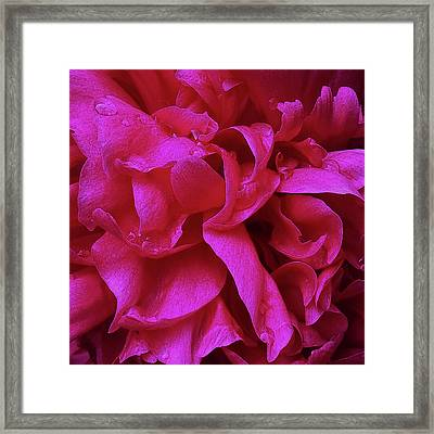 Perfectly Pink Peony Petals Framed Print