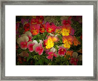 Radiance Pansies Framed Print