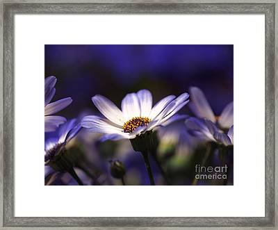 Pericallis On A Cool Spring Evening 2 Framed Print by Dorothy Lee