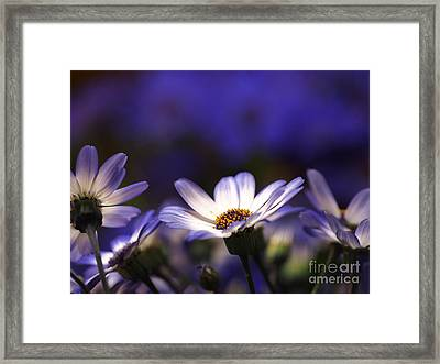 Pericallis On A Cool Spring Evening 4 Framed Print by Dorothy Lee