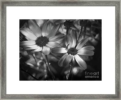 Pericallis Senetti Blue Bicolor In Monochrome 2 Framed Print by Dorothy Lee