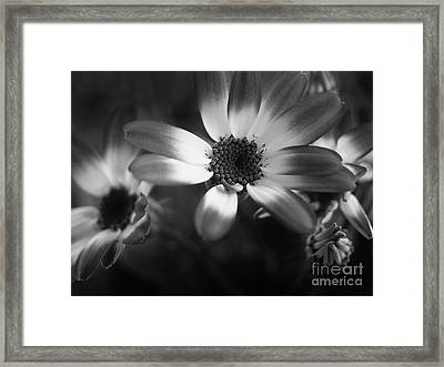 Pericallis Senetti Blue Bicolor In Monochrome 3 Framed Print by Dorothy Lee