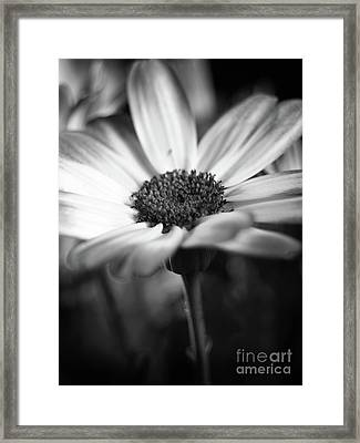Pericallis Senetti Blue Bicolor In Monochrome 4 Framed Print by Dorothy Lee