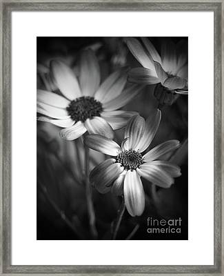 Pericallis Senetti Blue Bicolor In Monochrome Framed Print by Dorothy Lee