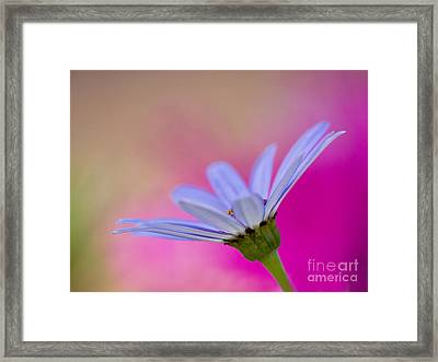 Pericallis Senetti Closeup Framed Print by Dorothy Lee