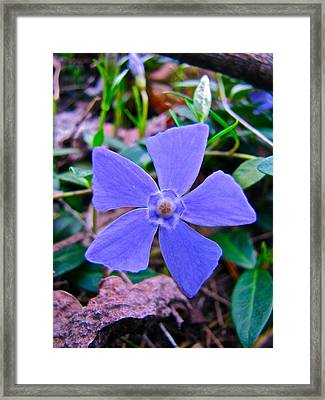 Framed Print featuring the photograph Periwinkle Flower by Lori Miller