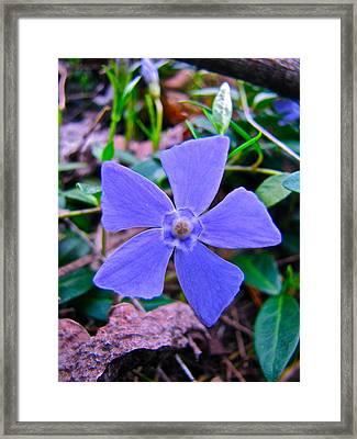 Periwinkle Flower Framed Print by Lori Miller