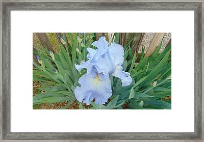 Periwinkle Iris  Framed Print