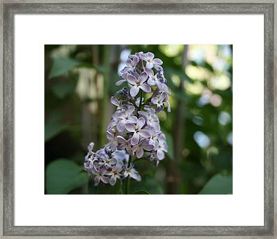 Periwinkle Framed Print by Samantha Cowmeadow