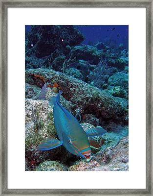 Perky Parrotfish Framed Print by Kimberly Mohlenhoff