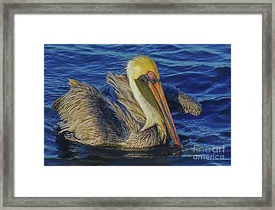 Perky Pelican II Framed Print