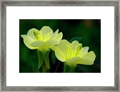 Perky Primroses Framed Print