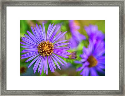 Perky Purple Aster Framed Print by Steve Harrington