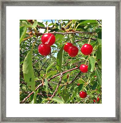 Framed Print featuring the photograph Perry's Cherry Image by Perry Andropolis
