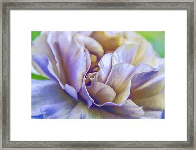 Persian Blooming Buttercup Framed Print