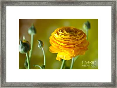 Persian Buttercup Flower Framed Print by Nailia Schwarz