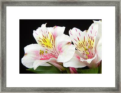 Peruvian Lilies Colorful Botanical Fine Art Print Framed Print by James BO  Insogna