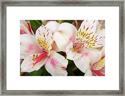 Peruvian Lilies  Flowers White And Pink Color Print Framed Print