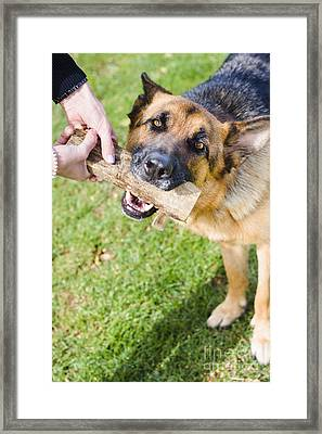 Pet Dog In Park Playing Tug Of War Game With Owner Framed Print by Jorgo Photography - Wall Art Gallery