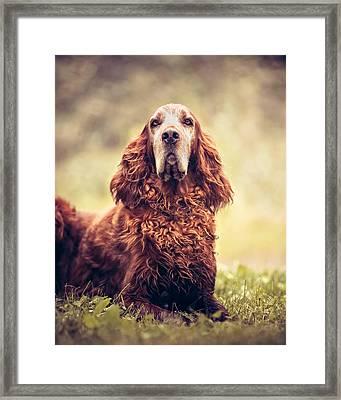 Pet Portrait - Red Irish Setter Dog Framed Print by Debi Bishop