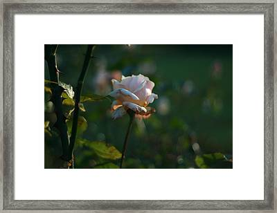 Petals And Thorns Bokeh Framed Print