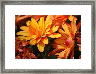 Petals Of Autumn 2 Framed Print by Jim  Darnall