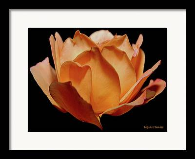 Rose Petal Sorbet Framed Prints