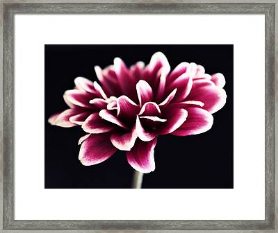 Petals Of The Mum Framed Print by Cathie Tyler