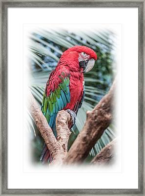 Peter Parrot Framed Print
