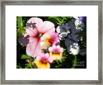 Petunia And Nemesia At Sunset Framed Print by Sonya Chalmers