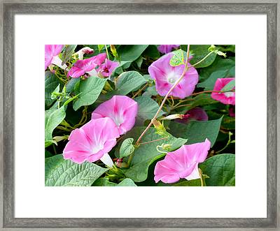 Petunia Blossom 4 Framed Print by Lanjee Chee