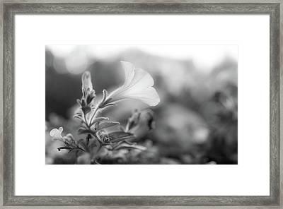 Petunia Impressions Framed Print by Bob Orsillo