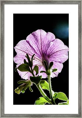 Petunia Framed Print by Nick Mares