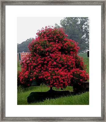 Petunia Tree Framed Print by Jeanette Oberholtzer