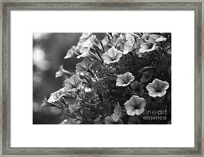 Petunias 2 Black And White Framed Print