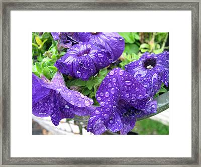 Petunias In The Rain Framed Print