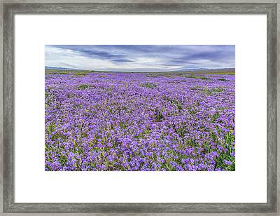 Framed Print featuring the photograph Phacelia Field And Clouds by Marc Crumpler