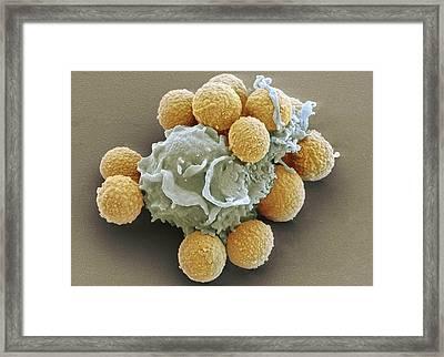 Phagocytosis Of Fungal Spores, Sem Framed Print