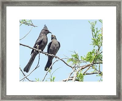 Phainopepla 7913 Framed Print by Tam Ryan