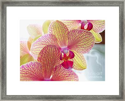 Phalaenopsis Framed Print by Addie Hocynec