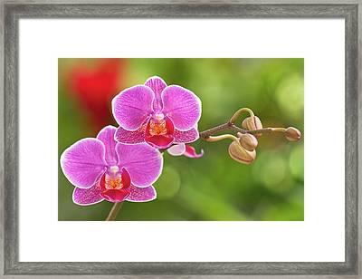 Phalaenopsis Framed Print by MaViLa