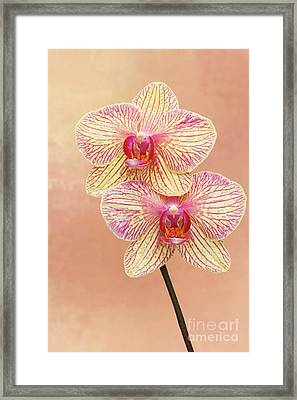 Phalaenopsis Moth Orchids #2 V2 Framed Print