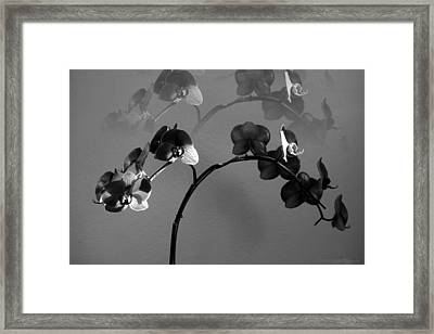 Phalaenopsis Orchcid In Black And White Refracted Framed Print