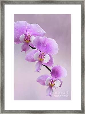 Phalaenopsis Schilleriana Fragrant Butterfly Orchid V2 Framed Print