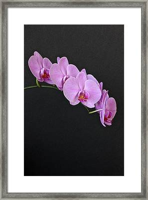 Phalenopsis In Full Bloom Framed Print by Pedro Vit