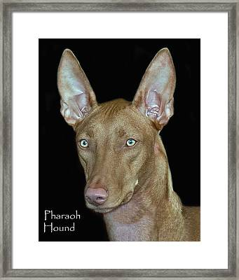 Pharaoh Hound Framed Print