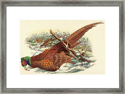 Phasianus Colchicus, Ring Necked Pheasant Framed Print by John Gould