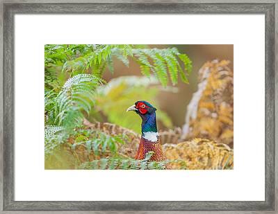 Pheasant Portrait Framed Print